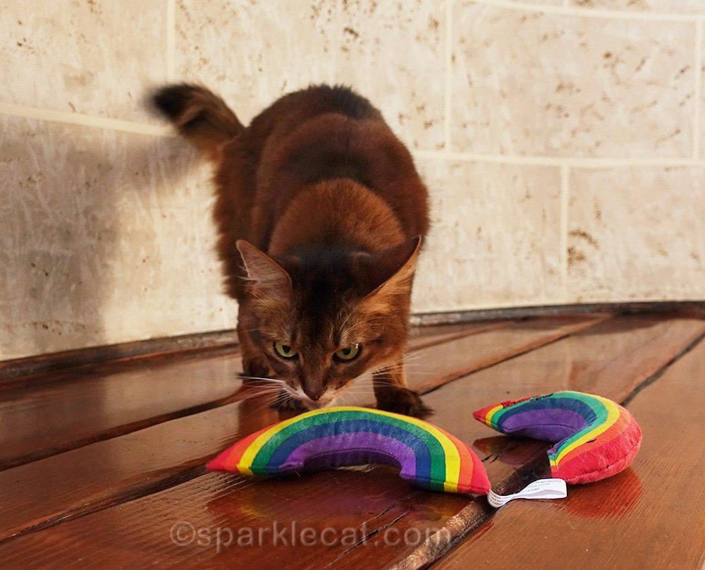 somali cat checking out one catnip rainbow