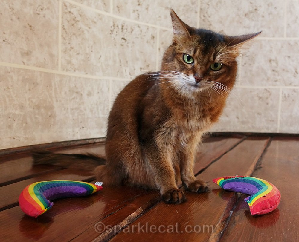 somali cat is dazed and confused