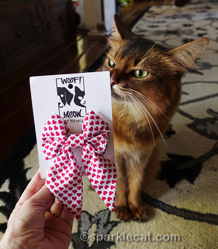 somali cat checking out new white bow tie with red hearts