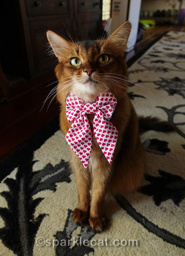 somali cat wearing bow tie for National Bow Tie Day
