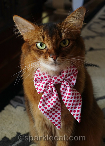 closer shot of Somali cat with new bow tie