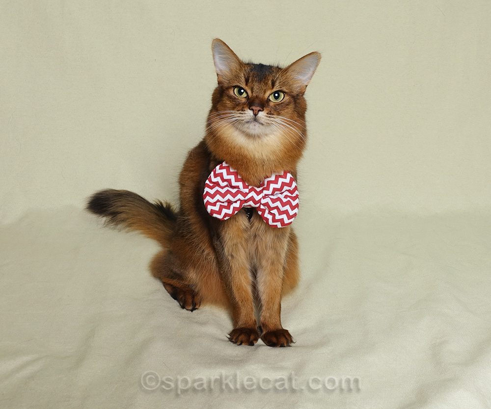 somali cat wearing bow tie from a friend