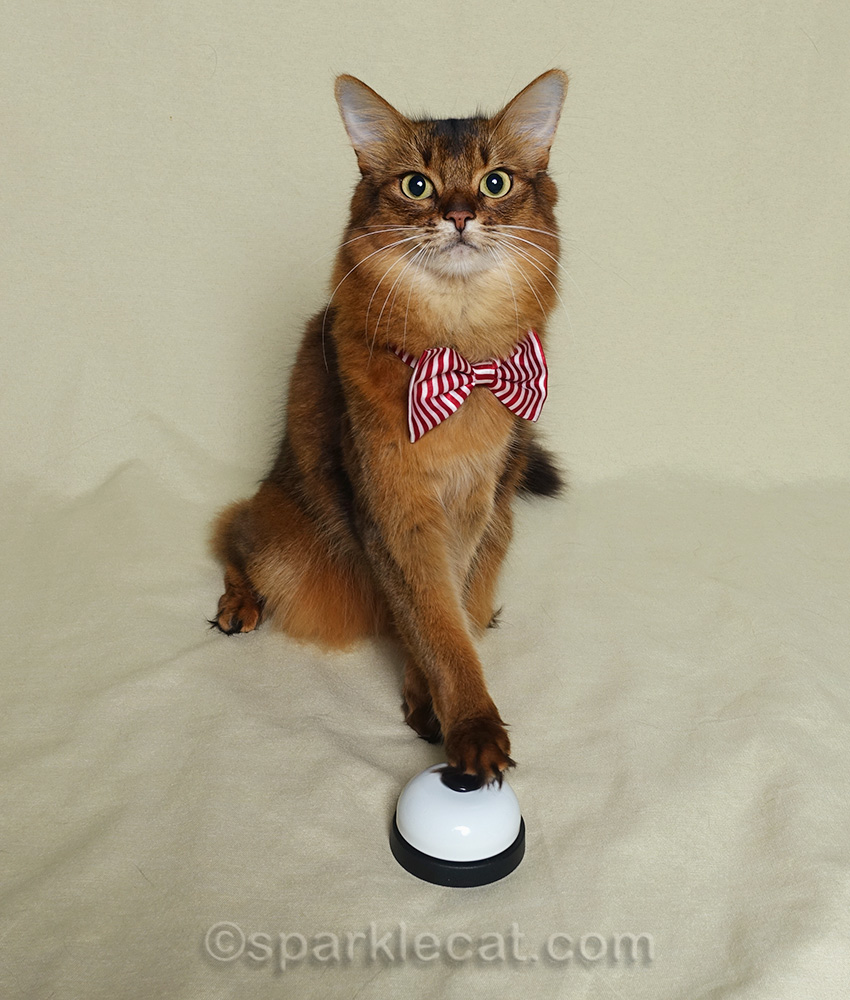 somali cat on National Bow Tie Day, with bow tie and desk bell