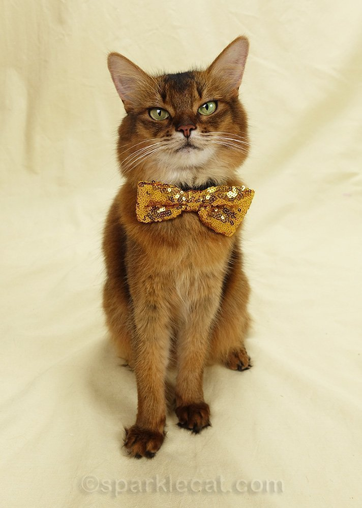 somali cat wearing gold sequin bow tie for National Bow Tie Day