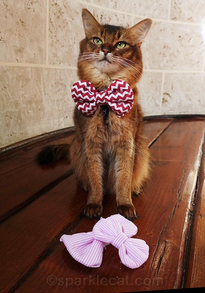 somali cat with bow ties from a fried