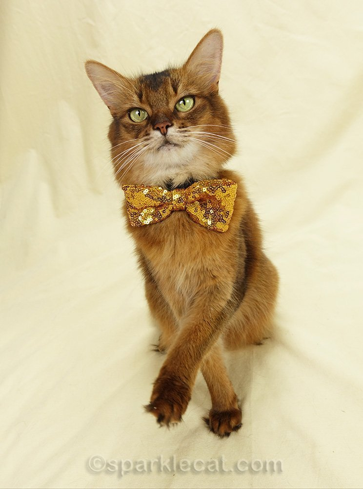 somali cat in gold sequin bow tie