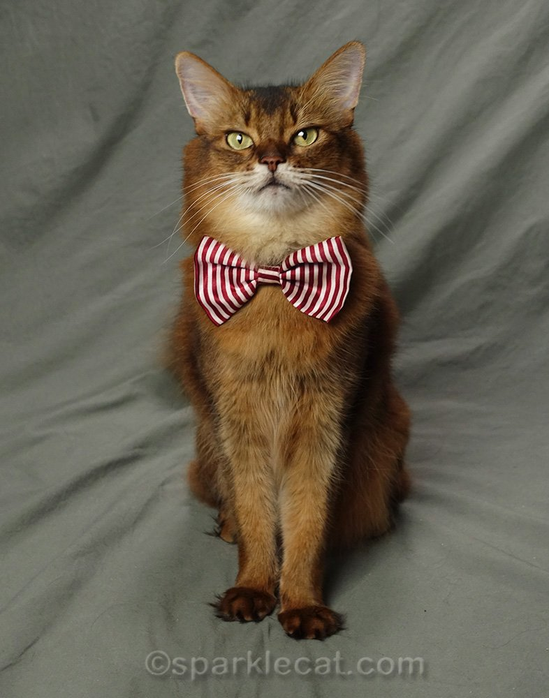 somali cat wearing a red striped bow tie