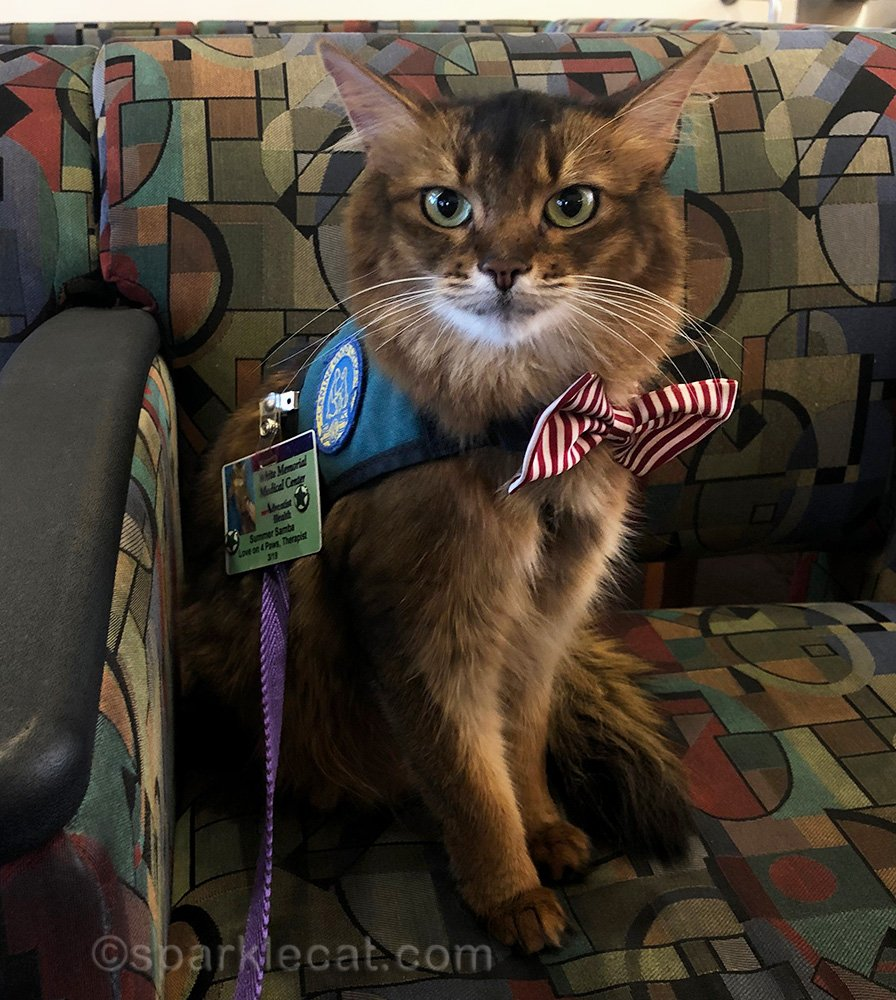somali cat on the job as a therapy cat