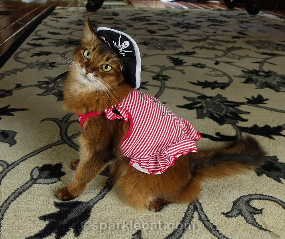 Somali cat in weird pirate concept outfit