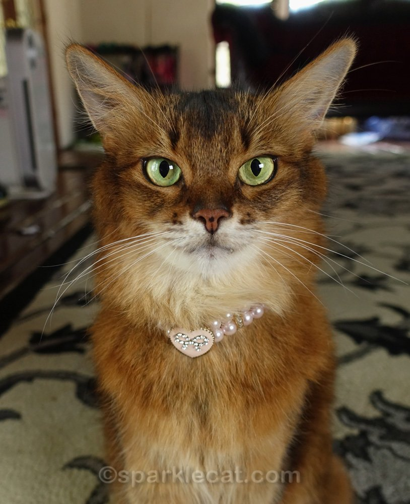 Somali cat wearing a pink heart necklace