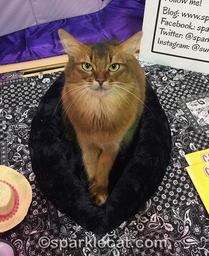 somali cat at cat show enjoying new bed