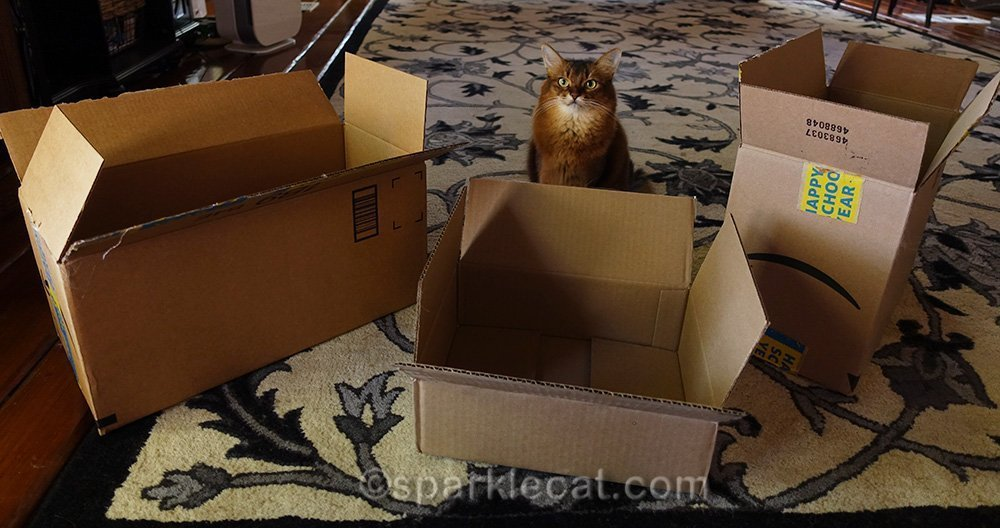 somali cat surrounded by boxes