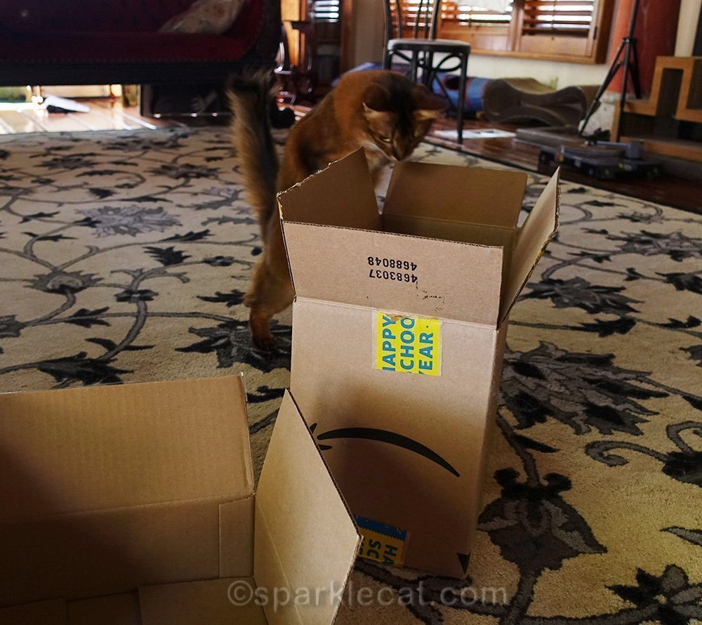 somali cat getting ready to leap into taller box