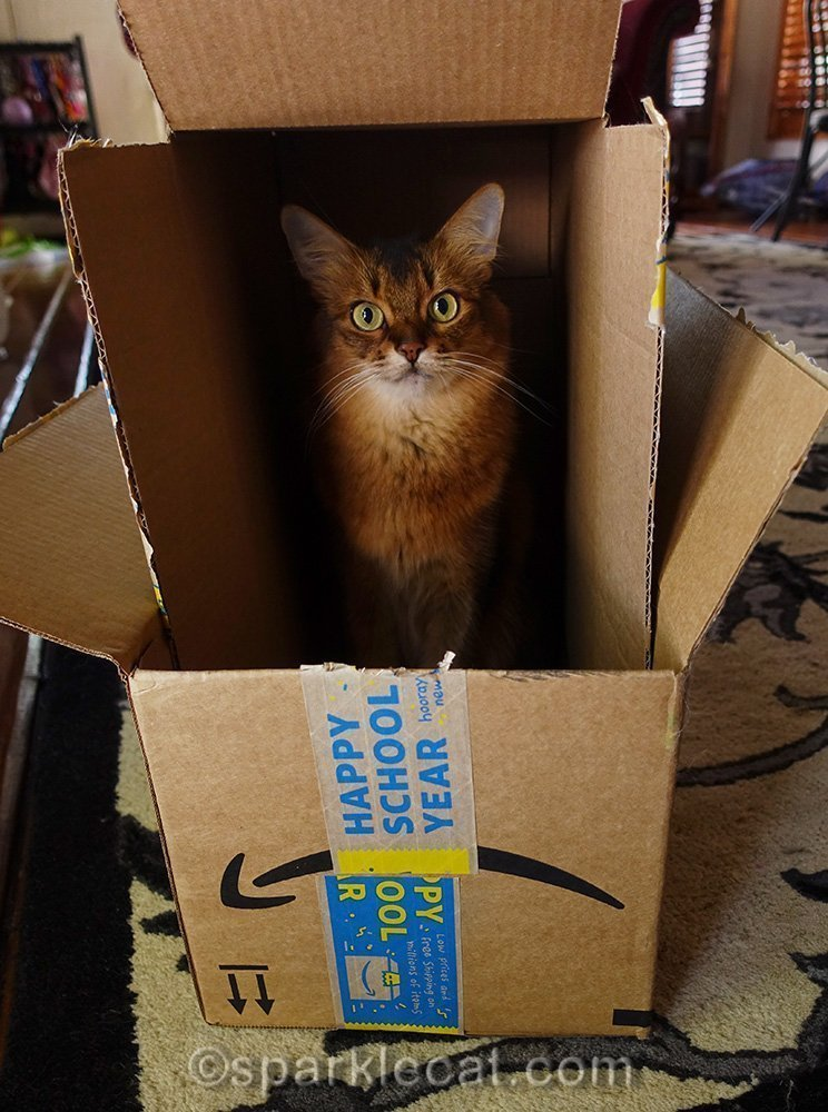 somali cat worried that her box party is over