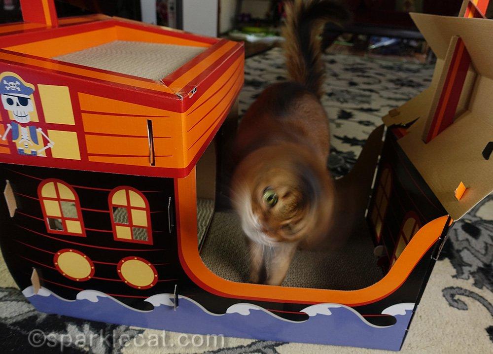 blurry somali cat shaking head