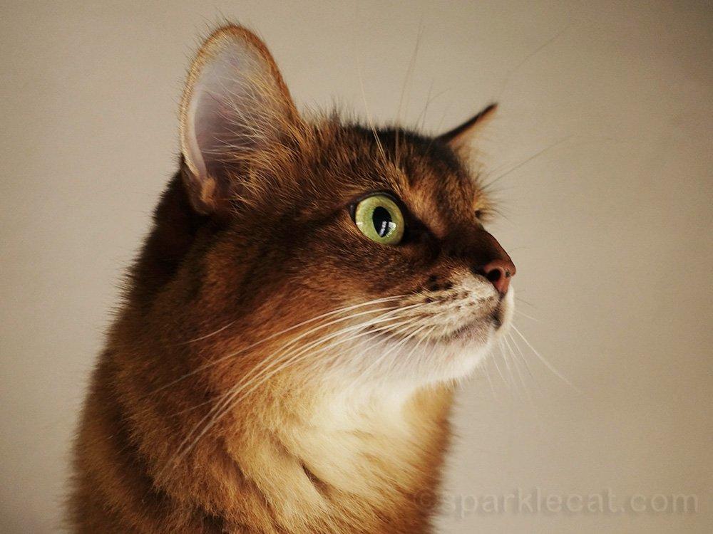 profile shot of somali cat