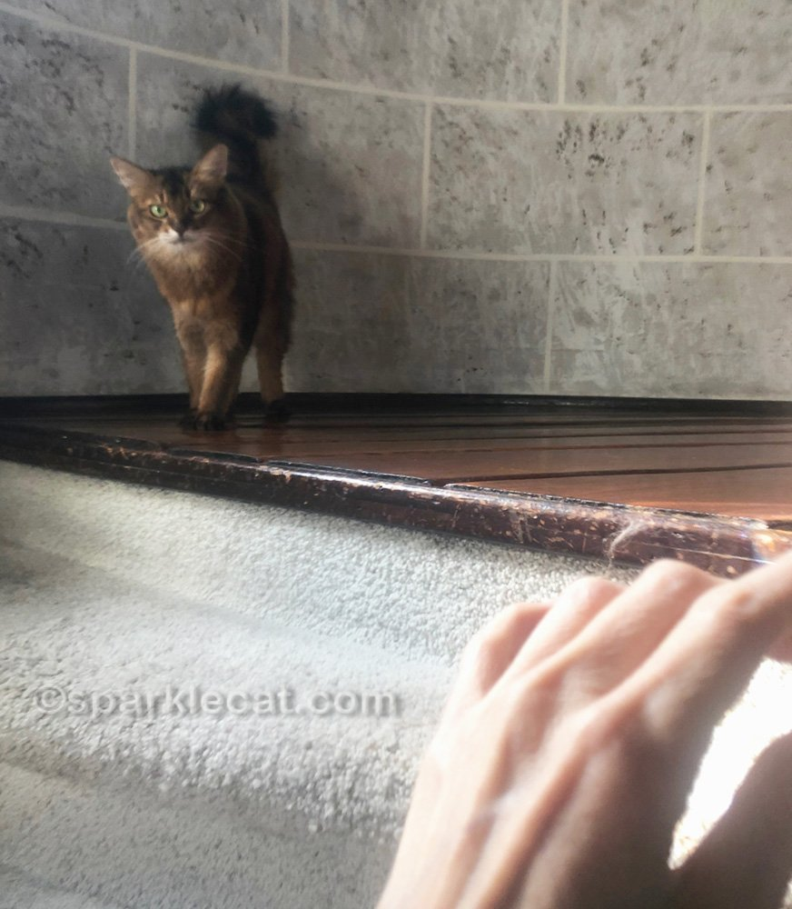 somali cat being photo bombed by human's hand