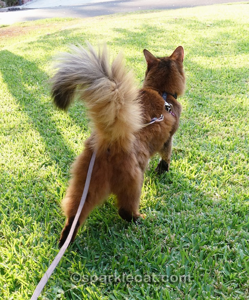 Somali cat on a leash, from behind