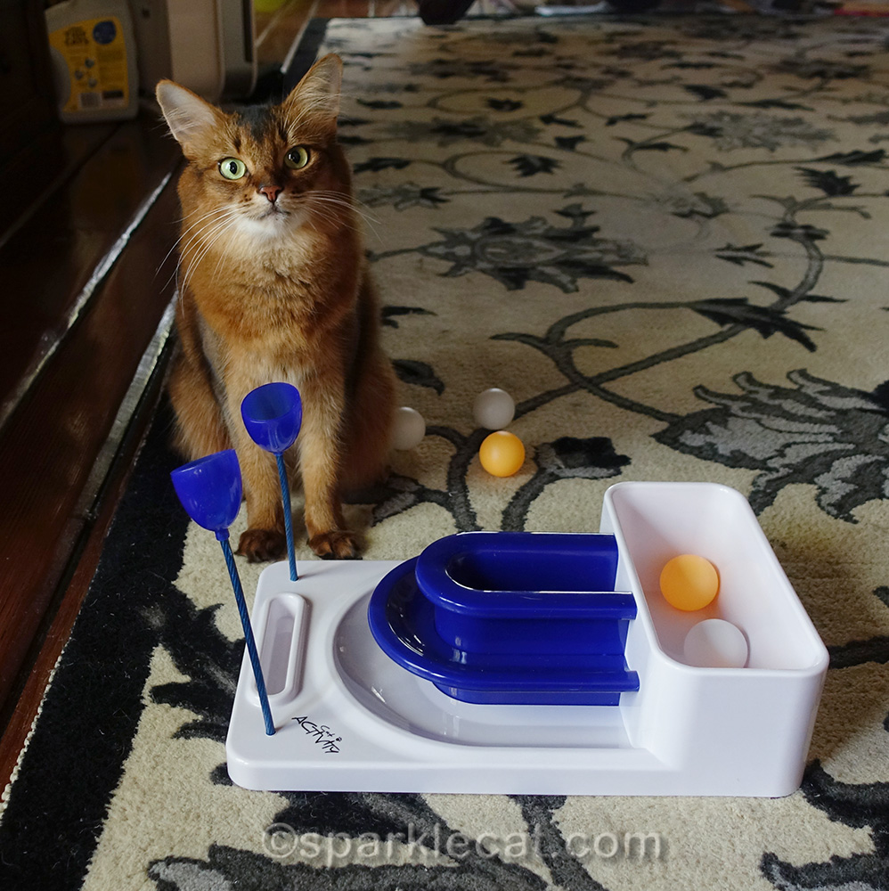 somali cat ready to play with the Fantasy Board