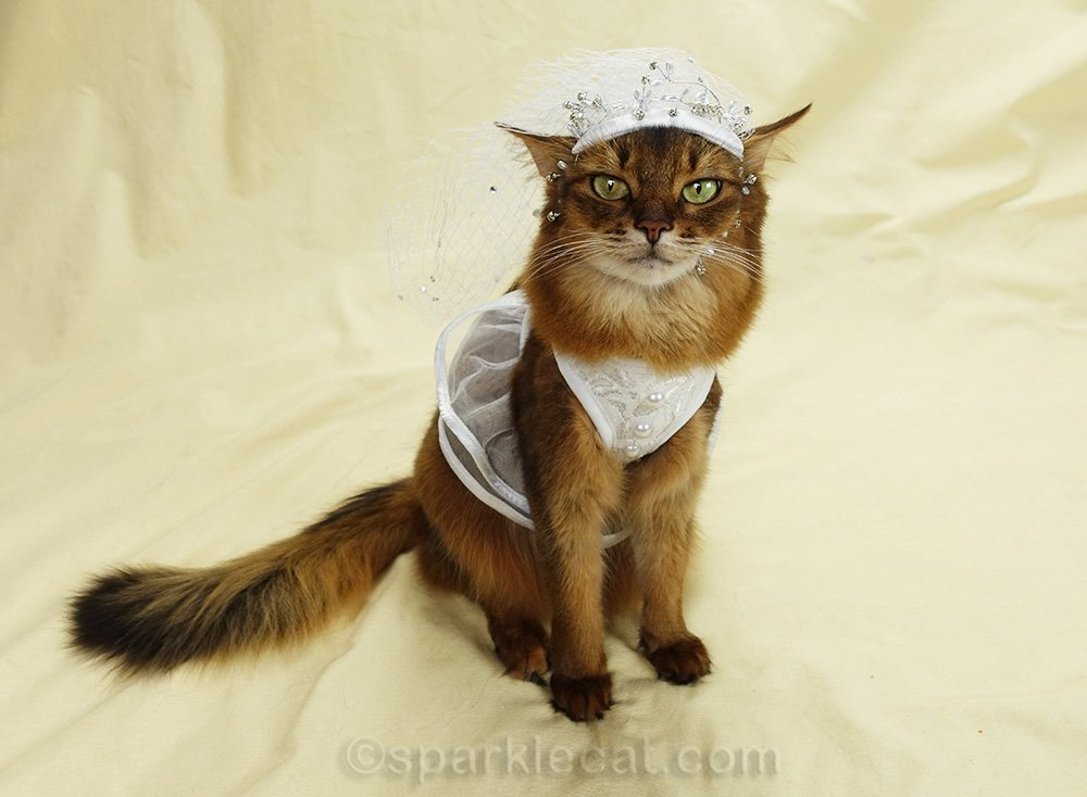 somali cat in wedding dress and veil