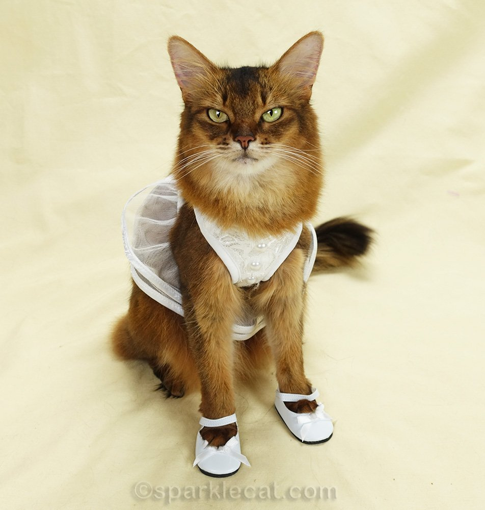 somali cat in bridal dress and bride shoes, and not happy about it