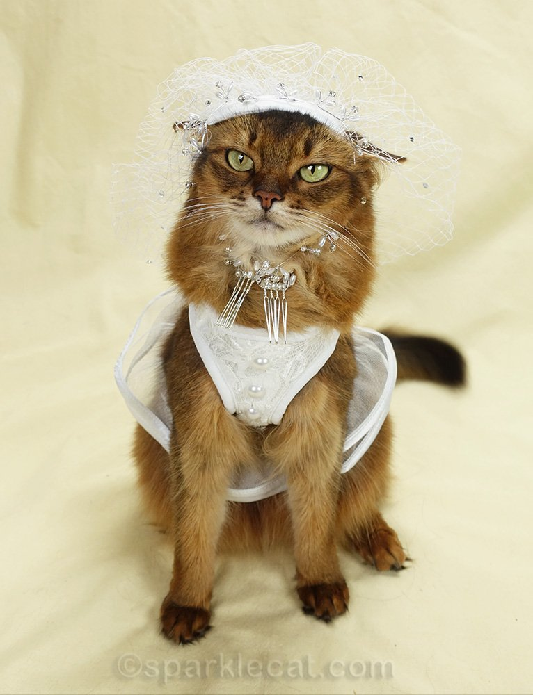 somali cat wearing bridal veil, badly