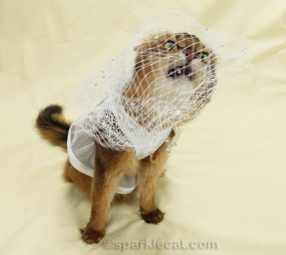 somali cat in wedding dress chewing on veil