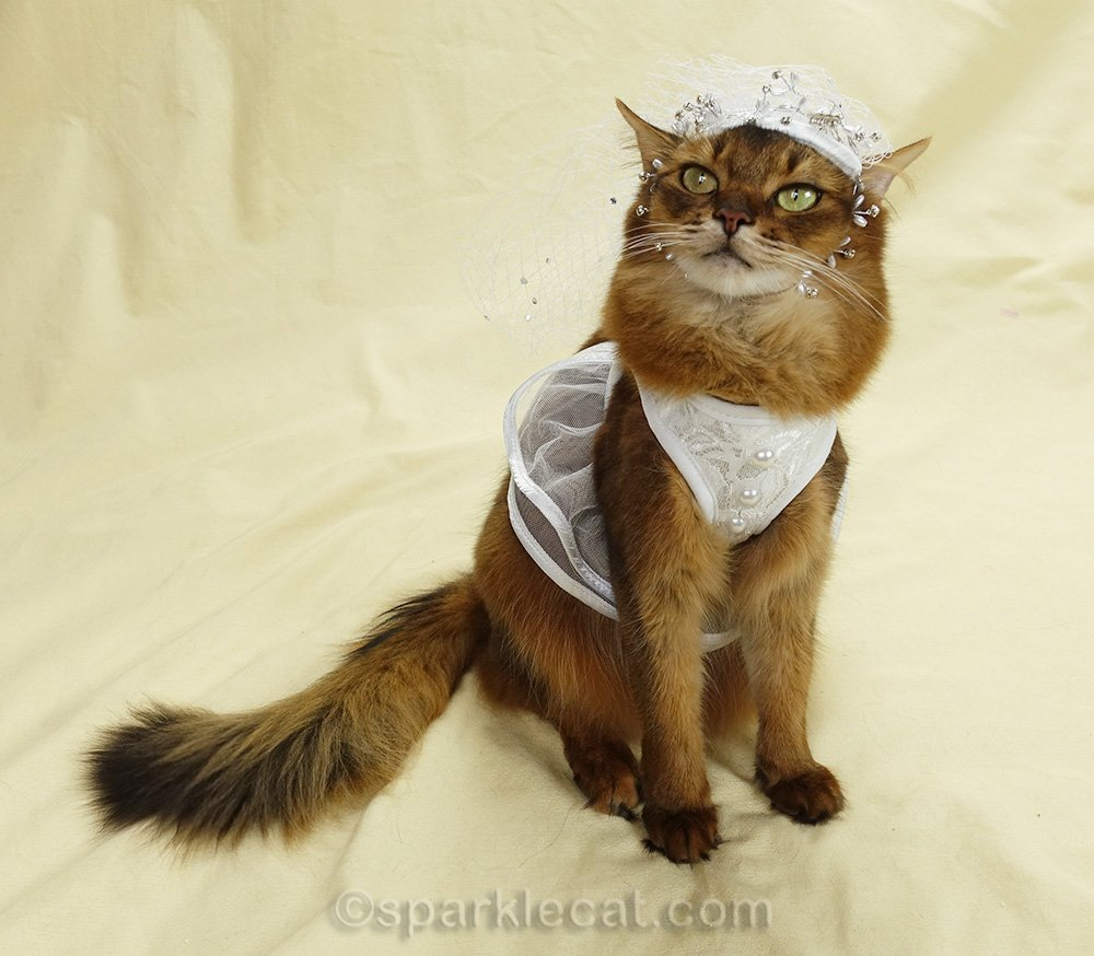 here comes the bride - somali cat in wedding dress