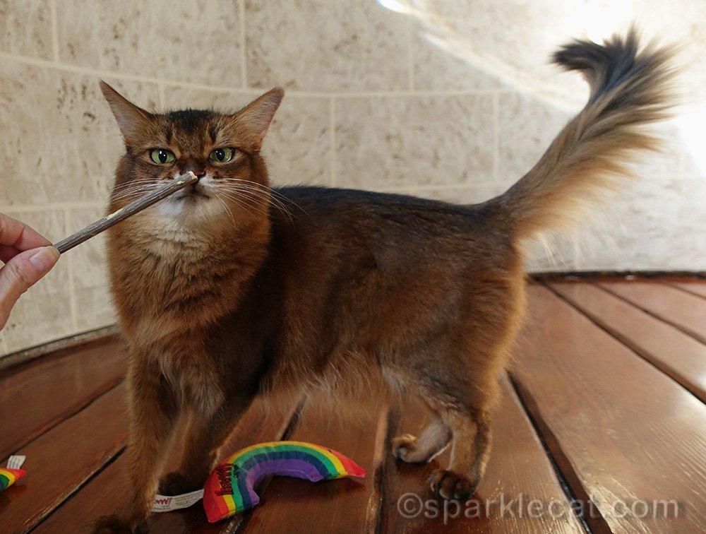 somali cat checking out matatabi stick