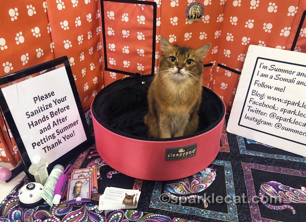 Somali cat sitting her Ambassador cat station