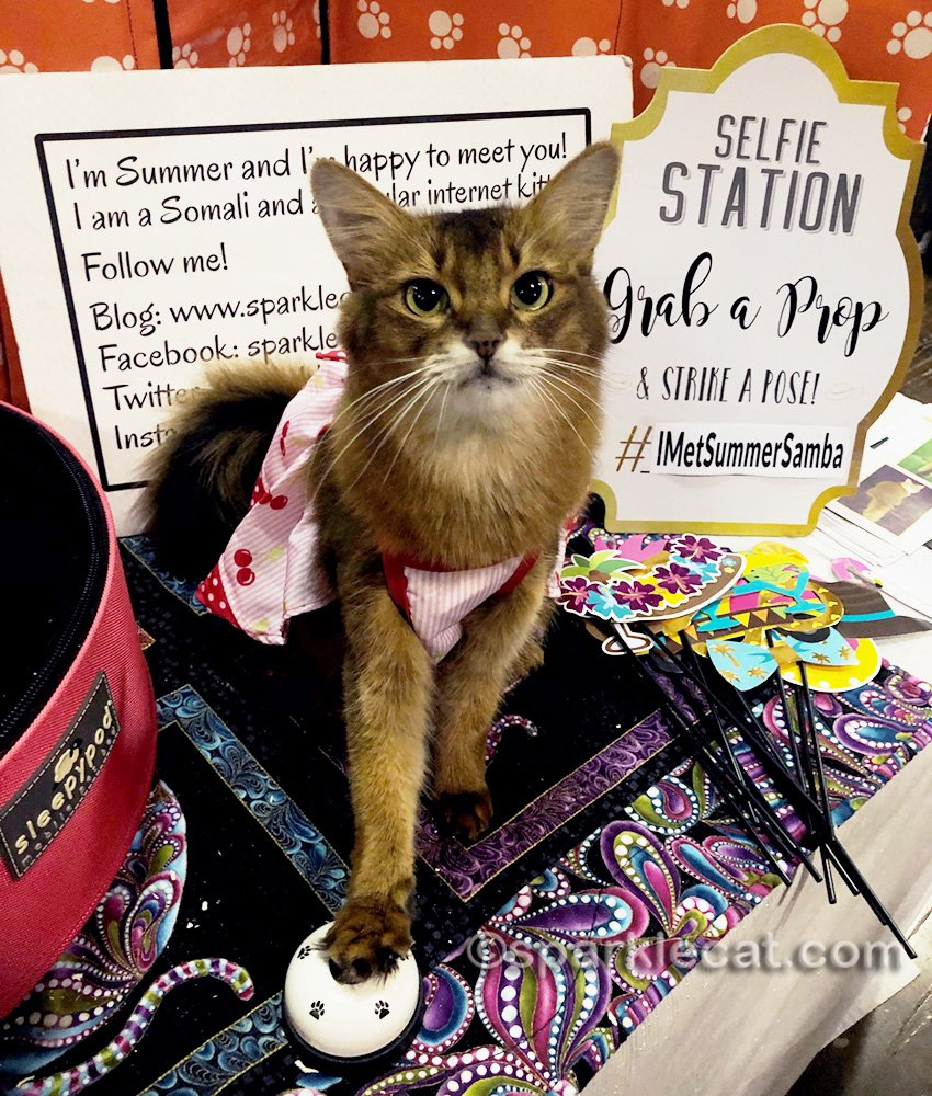 somali cat in a dress and ringing a bell at the cat show