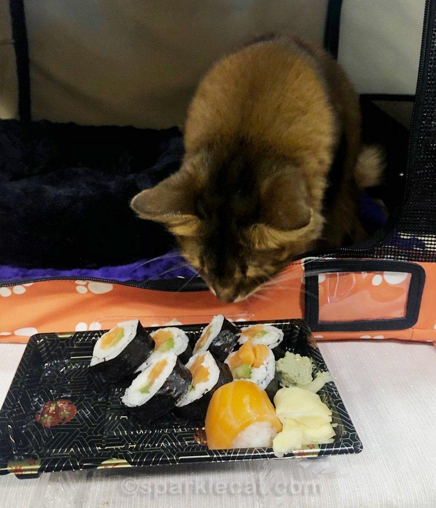 Somali cat looking at tray of sushi