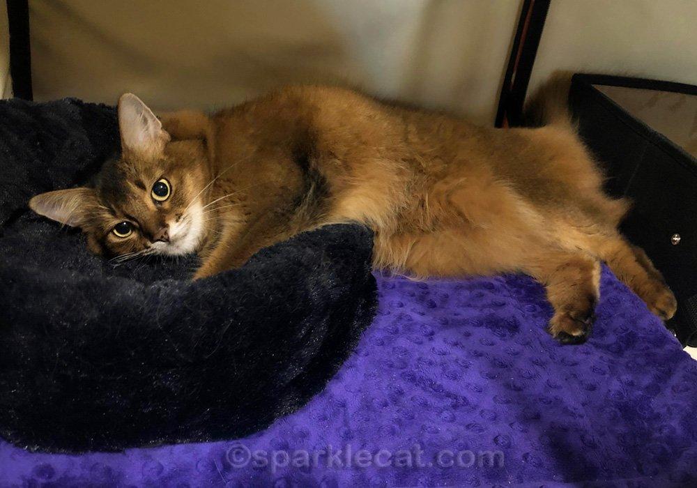 Somali cat relaxing in her cat show enclosure