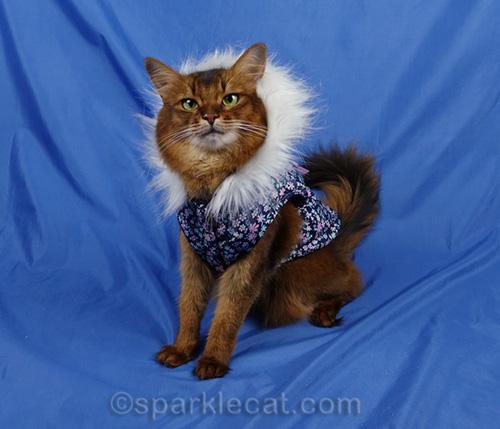 somali cat wearing winter parka