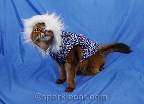 somali cat making funny pose with parka