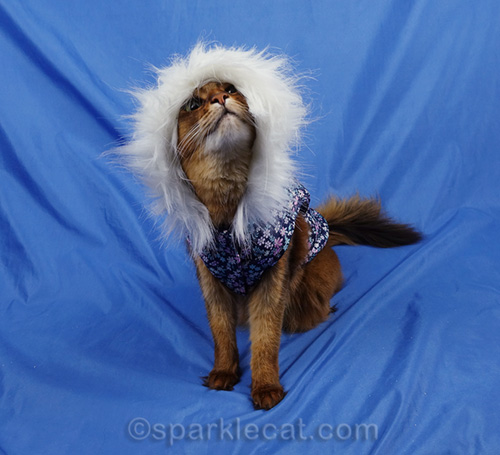 somali cat outtake from her winter wardrobe shoot