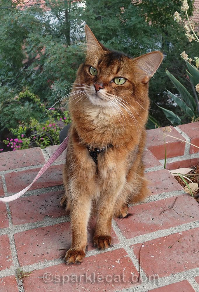 somali cat in backyard, contemplating fall weather