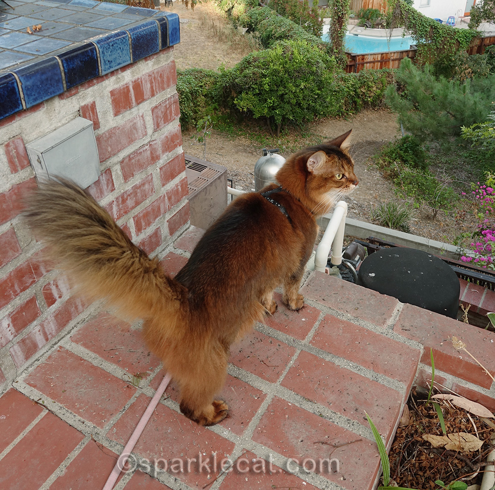 somali cat looking out into backyard