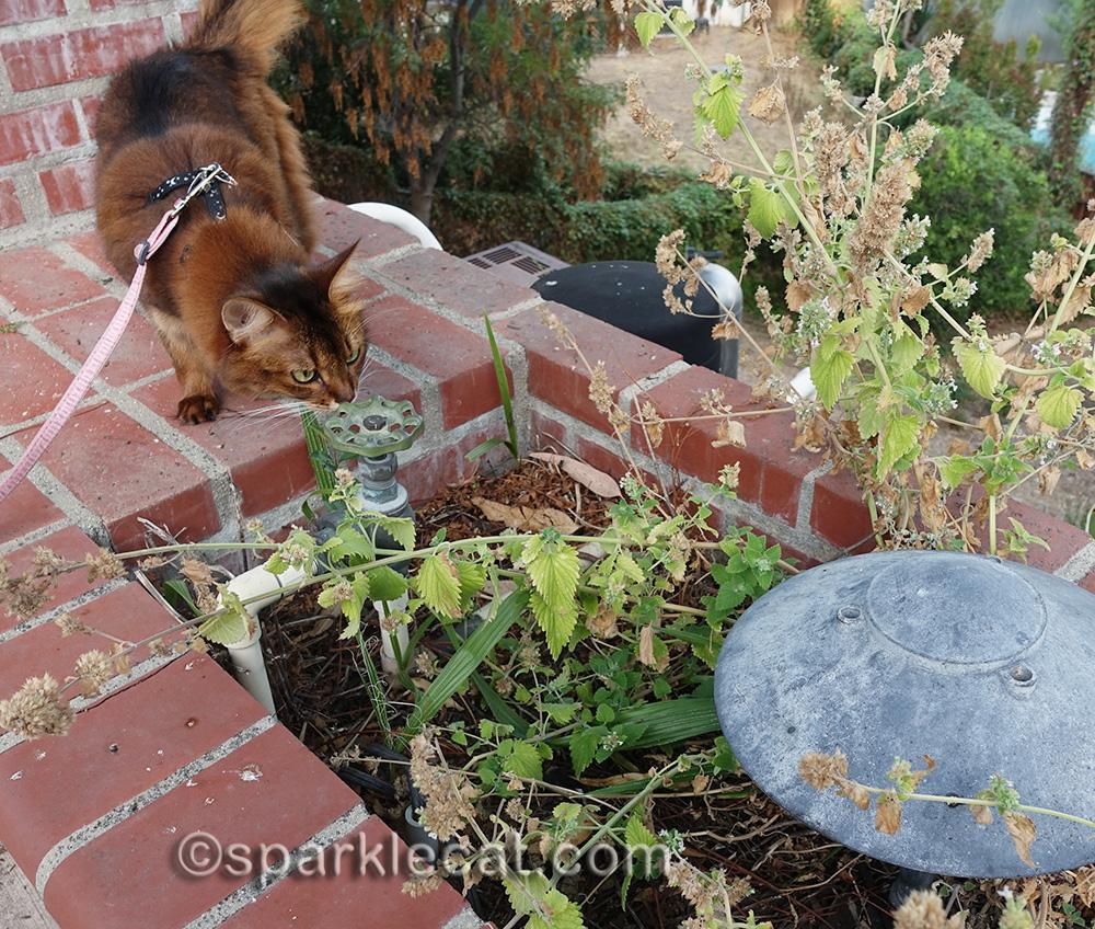 somali cat looking at dried, old catnip plants