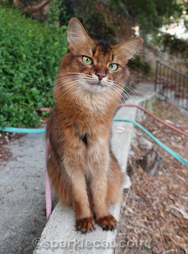 somali cat out back on a fall like day