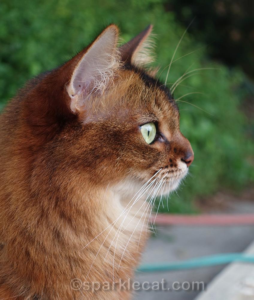 profile of somali cat