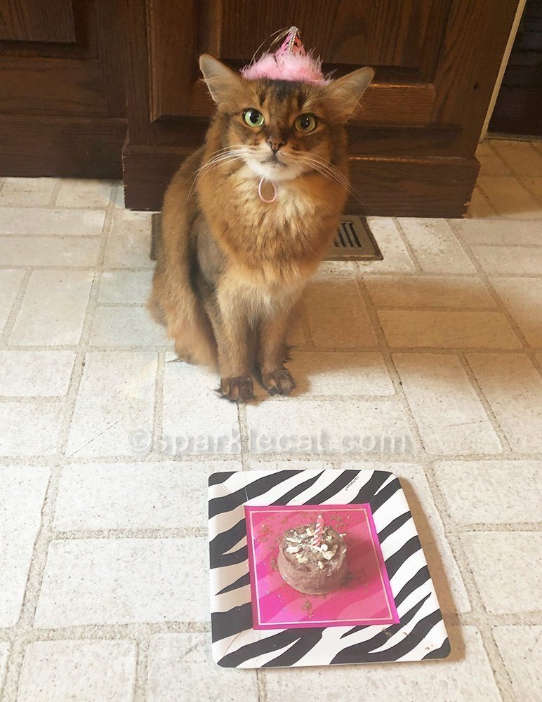somali cat in birthday hat with cat food cake