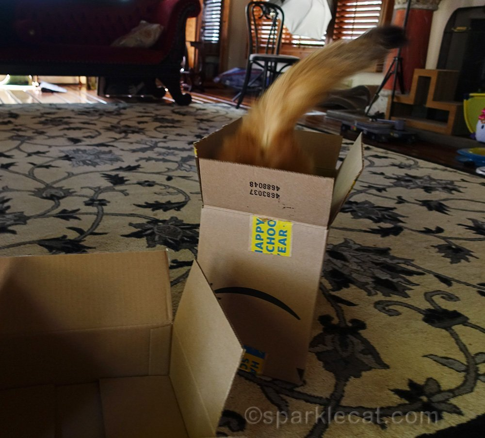 somali cat jumping into box, from behind