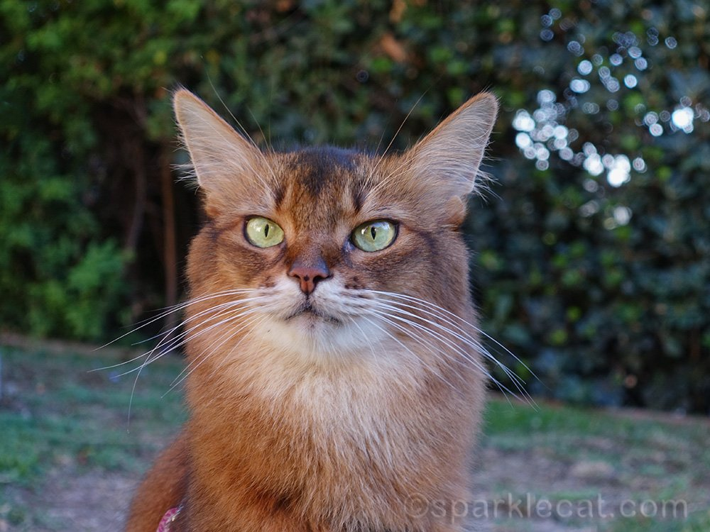 somali cat with bokeh in the background