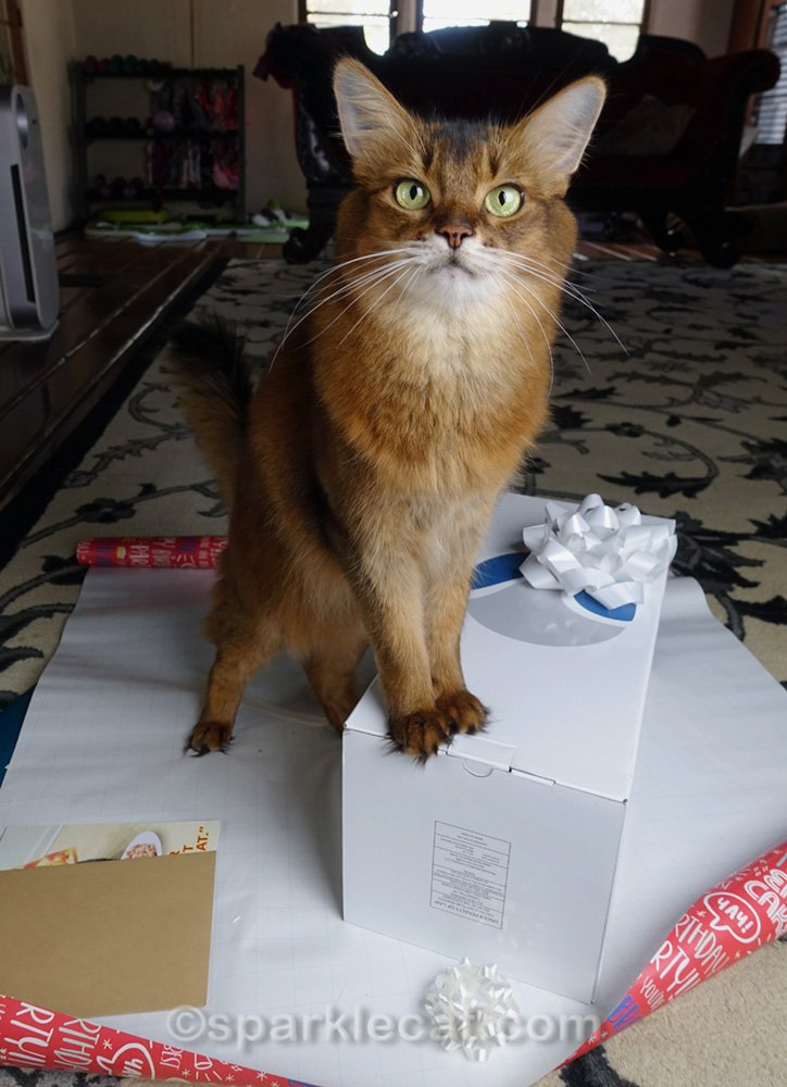 Somali cat helping with gift wrapping