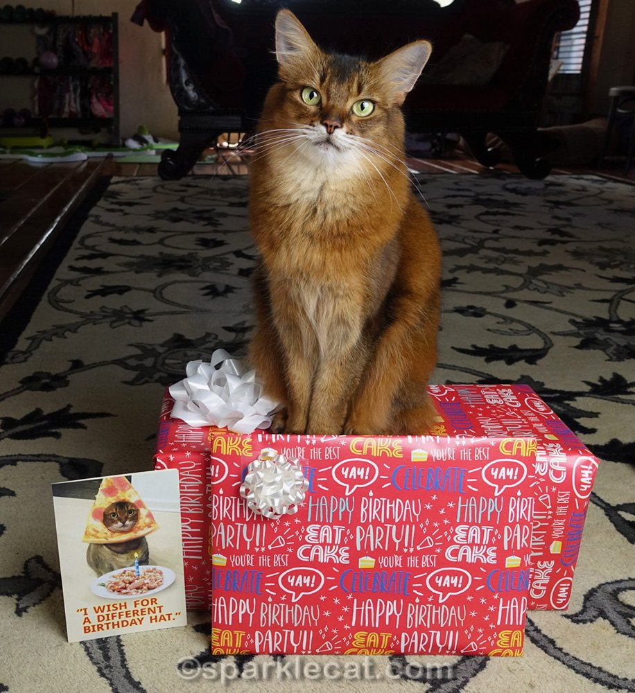 Somali cat posing with birthday gifts and card for Cody