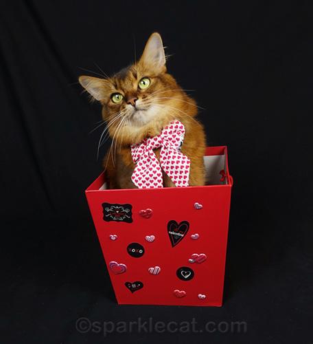 somali cat having fun in a Valentines box