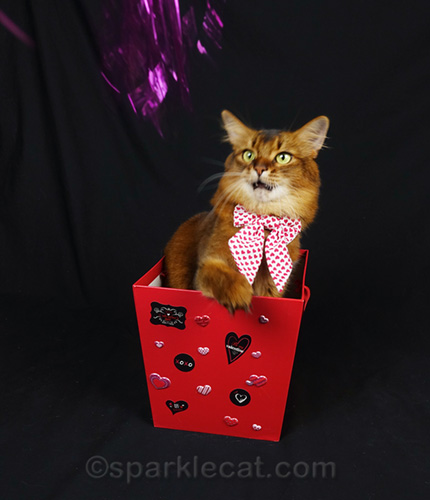 somali cat looking at cat toy flashing by with amazement