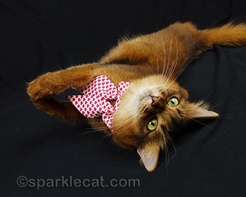somali cat looking cute