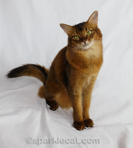 somali cat fall greeting cards